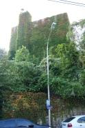 Lierre et autres plantes grimpantes fournissent des murs végétalisés écologiques et économiques. Pour peu qu'on soit patient... (Meudon)